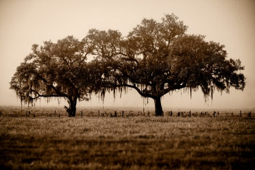 Two old Trees in a field with a retro sepia look and shallow depth of field.
