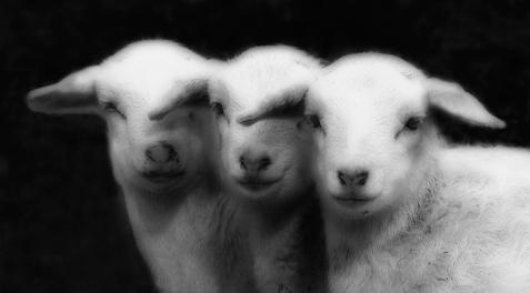 Baby Lambs,101_2135
