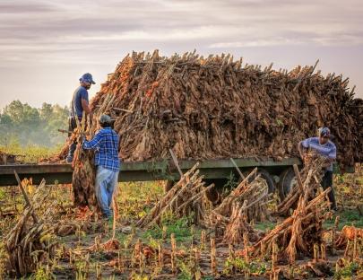 Janis Tomanek, Tobacco Harvest