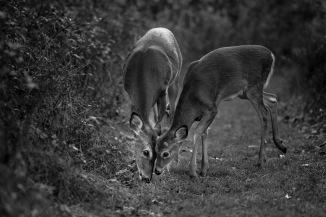 Jo Fields, Dear Deer