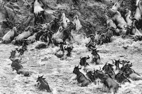 Bill Lindsley, Maasai Mara River Crossing